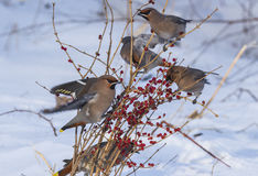 Peacebird during the winter months Royalty Free Stock Photos