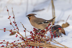 Peacebird during the winter months Stock Image