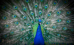 Peacecook. Beauty in nature- peacecook bird Royalty Free Stock Photography