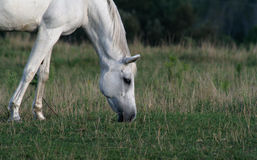 Peaceful Arabian Horse. A beautiful white arabian horse feeds in a pasture Royalty Free Stock Photos