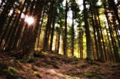 Meditation mood inside fir forest Stock Photography