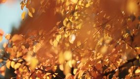 Peaceful autumn forest yellow trees sunny day. Peaceful autumn forest. Yellow trees. Leaves sway in breeze stock footage
