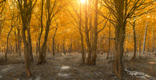 Peaceful autumn landscape in the woods. Bright sunlight through branches stock photography