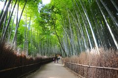 Peaceful Bamboo Forest Royalty Free Stock Photography