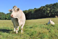 Peaceful charolais cows Royalty Free Stock Images