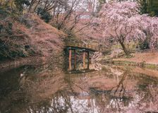 The peaceful come with the cherry blossom. Bridge with the cherry blossom reflexion to make of the most beautiful view that I could saw of the last spring in Royalty Free Stock Photo