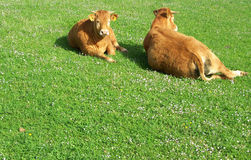 Peaceful cows Royalty Free Stock Photos