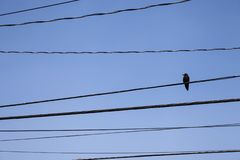 Peaceful crow on electric wires in Seattle royalty free stock image
