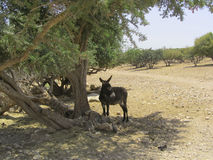 Peaceful donkey. Morocco, North Africa Stock Photo