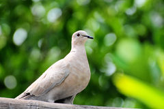 Peaceful Dove stock image