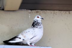 Peaceful dove (Columbidae) royalty free stock photos