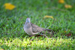 Peaceful Dove (Geopelia placida) Royalty Free Stock Images