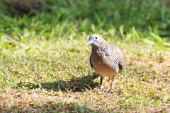 Peaceful dove on the grass Royalty Free Stock Images