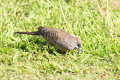 Peaceful dove on the grass Stock Photography
