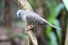Peaceful dove. This peaceful dove perches on a branch in Australia Royalty Free Stock Images