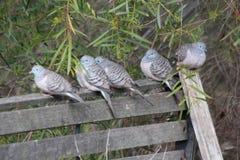 Peaceful Dove Stock Photos