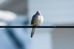 Peaceful Dove Royalty Free Stock Photography