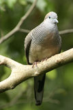Peaceful Dove Stock Photo
