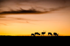 Peaceful Elk. Silhouette Elk grazing in the California fall sunset Royalty Free Stock Photography