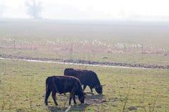 Peaceful Evening. Aurochs grazing in a misty landscape stock image