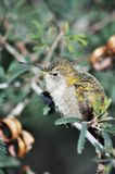 Peaceful Fluffy Hummingbird Resting Royalty Free Stock Photo