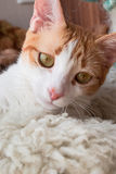 Peaceful ginger cat Royalty Free Stock Photo