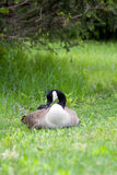 Peaceful Goose Stock Photography