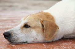 Peaceful happy dog. Head portrait of dog lying on flat surface Royalty Free Stock Image