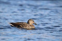 Peaceful Hen Mallard Duck on the Lake. A  hen mallard duck Anas platyrhynchos swimming on a blue lake Stock Photo