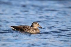 Peaceful Hen Mallard Duck on the Lake. A hen mallard duck Anas platyrhynchos swimming on a blue lake Stock Photo