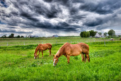 Peaceful Horses royalty free stock image