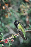 Peaceful Hummingbird Resting Royalty Free Stock Photography