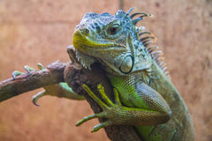 Peaceful Iguana Stock Images
