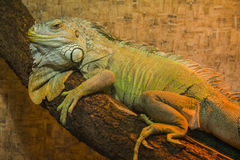 Peaceful Iguana Stock Photography