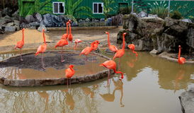 Peaceful image of several flamingos in pond water, Baltimore Zoo, Maryland,2015 Royalty Free Stock Photography