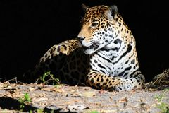 Peaceful jaguar on black background Stock Photo