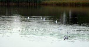Peaceful lake scene. With seagulls swimming stock footage