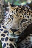 Peaceful leopard, panther, lying on the tree, closeup, leopard head Stock Photo