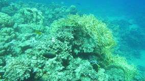 Peaceful Life of a Coral Reef. Slow motion shot of a coral reef. Multiple exotic fishes different in colors and sizes are swimming around it stock video footage