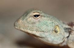 A peaceful light blue lizard watching you. A macro shot of a peaceful agama lizard with a background blur and a crisp detail Royalty Free Stock Photo