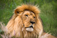 Peaceful lion Royalty Free Stock Image