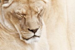 Peaceful lioness Royalty Free Stock Images