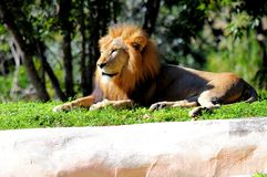 Peaceful-looking lion Royalty Free Stock Images
