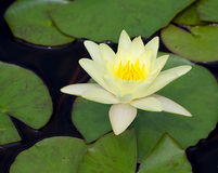 Peaceful Lotus Flower Royalty Free Stock Image