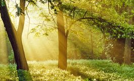 Free Peaceful Magic Morning Sunrays In The Forest Stock Images - 157683114