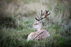 Peaceful male fallow deer resting in the forest Royalty Free Stock Image