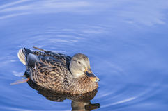 Peaceful Mallard Royalty Free Stock Photography