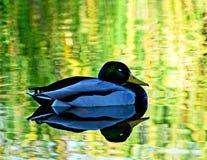 Peaceful Mallard Stock Photo