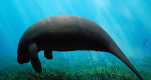 Peaceful Manatee Royalty Free Stock Photo