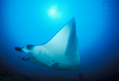 A peaceful manta ray Stock Photography